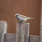 Sparrow on Garden Fence by squonk1666