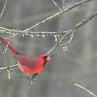 Red cardinal on icy branches by mltrue