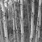 Aspen by Tracy Faught