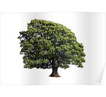 Large Oak Tree (Isolated on white background) Poster