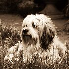 Tibetan Terrier 2 by Dragonfairy