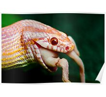 lunch at last, corn snake feeding Poster