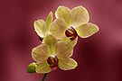 Orchid by Sandy Keeton