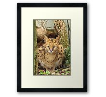 African Serval @ Cat Survival Trust in Welwyn Framed Print