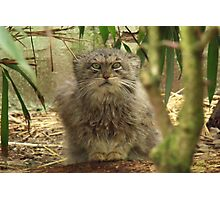 Pallas Cat @ Cat Survival Trust Photographic Print