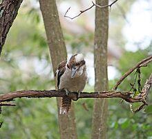 Kookaburra in tree  by squonk1666