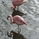 Flamingos @ Colchester Zoo by claireandcoco