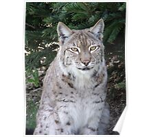 Petra the Lynx @ WHF Poster