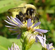 Bee and Aster by BLemley