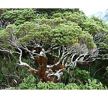 Gnarly Ancient Tree - Key Summit Photographic Print