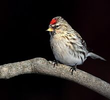 Common Redpoll by Gary Fairhead