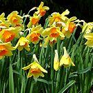 Nodding Narcissus by kkmarais