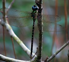 Forest dragonfly by Ben Waggoner