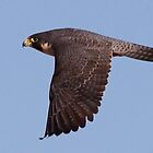 022211 Peregrine Falcon by Marvin Collins