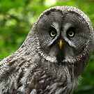 Great Grey Owl by Mark Hughes