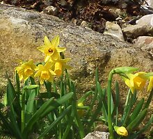Daffodils  In The Rockery by lynn carter