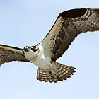 Osprey in flight 5 by jozi1