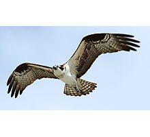 Osprey in flight 5 Photographic Print