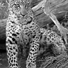 Young leopard in black and white by jozi1