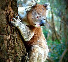 How much can a Koala Bear!! by amandajbear