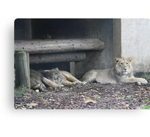 Family of lions Canvas Print