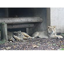 Family of lions Photographic Print