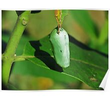 Monarch Butterfly Cacoon  Poster