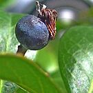 Indian Hawthorne Fruit by glennc70000