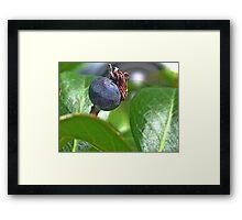 Indian Hawthorne Fruit Framed Print