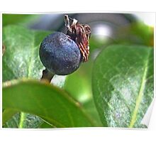 Indian Hawthorne Fruit Poster