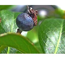 Indian Hawthorne Fruit Photographic Print