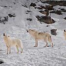 Wolf Karaoke by Daniel  Parent