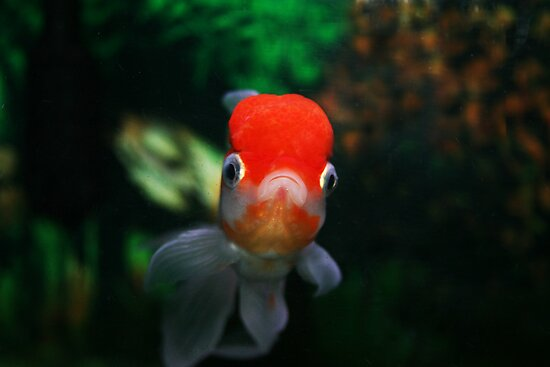 Red capped Oranda by SKNickel