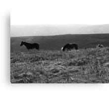 Black Mountain Ponies Canvas Print