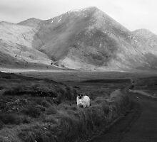 Curious Sheep by Paul McSherry