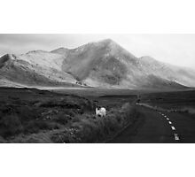 Curious Sheep Photographic Print