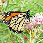 Monarch Butterfly by SusieG
