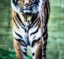 The Tigress II by Saija  Lehtonen