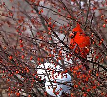 Gorgeous in Red by timmcmurdo
