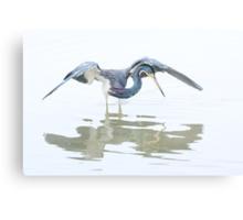 Tricolored Heron hunting behaviour Canvas Print