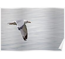 Ringbilled Gull in Flight Poster
