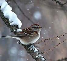 Snowy Tree Sparrow by ArianaMurphy