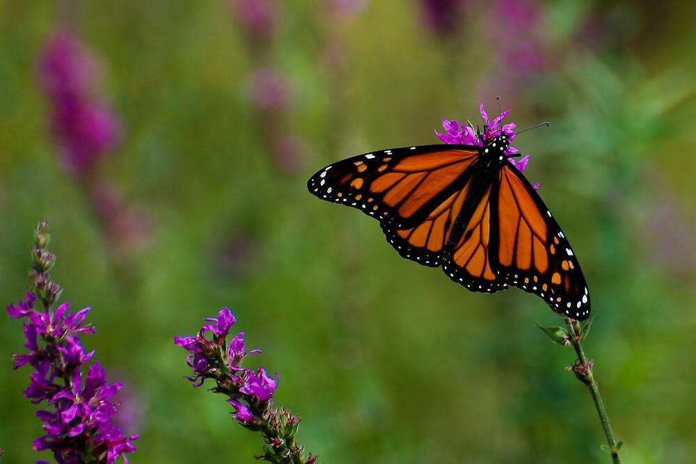 Male Monarch Butterfly on Purple Loosestrife by Steve Borichevsky