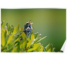 Savannah Sparrow Poster