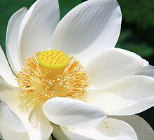 White Lotus by BengLim