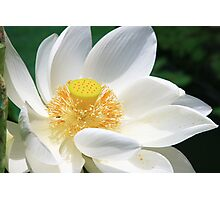 White Lotus Photographic Print