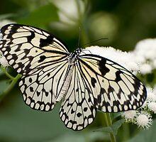 Paper Kite Butterfly - Idea leuconoe by Tracey  Dryka