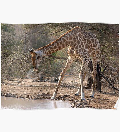 Giraffe Drinking Spray Poster