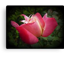 Double Delight almost open Canvas Print