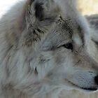 Wolf Portrait by Veronica Schultz